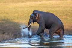 Elephant spraying water Stock Image