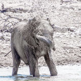 Elephant Spraying water Stock Images