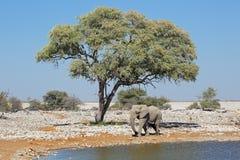 Elephant and springbok antelopes Stock Photo