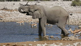 Elephant and springbok antelopes drinking stock footage