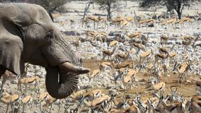 Elephant and springbok drinking at waterhole in Etosha National Park. Elephant and a lot of springbok at a waterhole in Etosha Nationa Park, Namibia stock photography