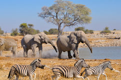 Elephant squabble, Etosha National park, Namibia Stock Image