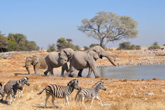 Elephant squabble, Etosha National park, Namibia. Elephant charging another elephant, Okaukeujo waterhole, Etosha National Park, Namibia Stock Photos
