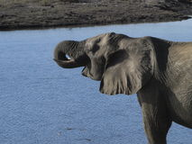 Elephant. Squirting water into its mouth with trunk Royalty Free Stock Photography