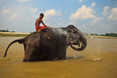 Elephant Squirting Water in River in Nepal Stock Photo