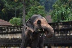Sri Dalada Maligawa Kandy, Sri Lanka. An elephant at Sr Dalada Maligawa Royalty Free Stock Images
