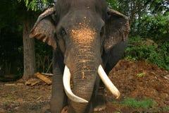 Elephant Sri Lanka. The old bull at Sri Lanka Pinnawala Elephant Orphanage Stock Photos