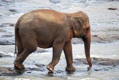 Elephant in Sri Lanka Royalty Free Stock Photography