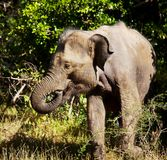 Elephant on Sri Lanka Royalty Free Stock Photos