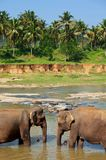 Elephant on Sri Lanka Stock Photos