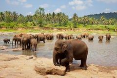Elephant on Sri Lanka Stock Photos