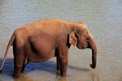 Elephant on Sri Lanka Royalty Free Stock Images