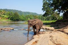 Elephant on Sri Lanka Stock Photography