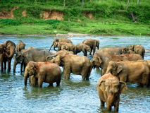 Elephant in Sri Lanka. Elephants bathing in a river in Sri Lanka Royalty Free Stock Photos
