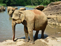 Elephant in Sri Lanka. Elephants bathing in a river in Sri Lanka Royalty Free Stock Images