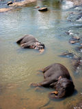 Elephant in Sri Lanka. Elephants bathing in a river in Sri Lanka Stock Photo