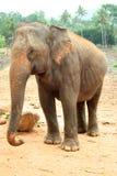 Elephant Sri Lanka Stock Image
