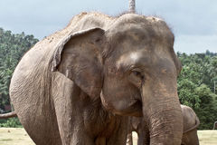 Elephant in Sri Lanka Stock Image