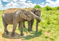Elephant from Sri Lanka. A pair of elephants from the Udawalawe national park strolling by the shore of the lake.Sri Lanka stock photo