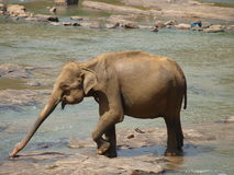 Elephant Sri Lanka. Elephant from Sri Lanka Pinnawala royalty free stock image