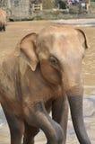Elephant in Sri Lanka Stock Photography