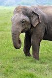 Elephant in Sri Lanka Royalty Free Stock Image