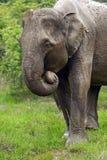 Elephant in Sri Lanka Royalty Free Stock Photos