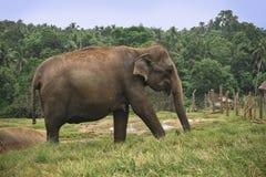Elephant in Srilanka Royalty Free Stock Image
