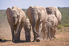 Elephant Stampede. A breeding herd of Elephant going to drink Stock Images