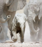 Elephant stampede. Small muddy elephant running amidst herd over dusty Etosha plains Royalty Free Stock Photo