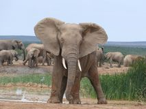 Elephant standing at attention attitude stock photos