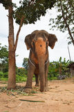 Elephant standing below the tree in backyard Royalty Free Stock Image