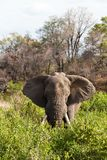 Elephant standing the bushes Royalty Free Stock Photos