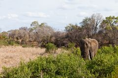 Elephant standing between the bushes Royalty Free Stock Photography