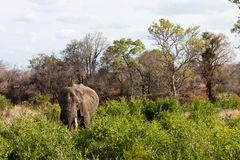 Elephant standing between the bushes Stock Image