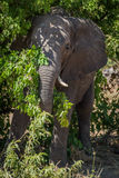 Elephant standing in bushes in dappled sunlight Royalty Free Stock Photos