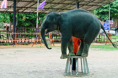 Elephant standing on a chair Royalty Free Stock Photography