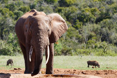 Elephant standing and drinking water Stock Image