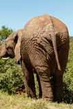 Elephant standing and eating on branches Stock Photography