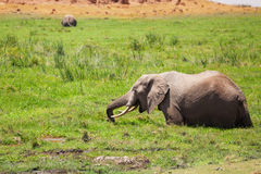 Elephant standing in fen and eating lush grass stock photo