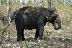 Elephant. An elephant is standing in the forest lonely Royalty Free Stock Photography