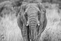 Elephant standing in the high grass. In black and white in the Welgevonden game reserve, South Africa royalty free stock image