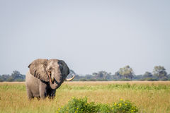 Elephant standing in high grass in Chobe. Royalty Free Stock Photo