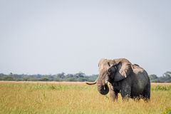 Elephant standing in high grass in Chobe. Stock Photos