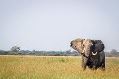 Elephant standing in high grass in Chobe. Stock Image