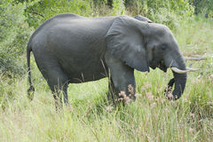 Elephant standing in high grass Royalty Free Stock Images
