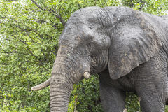 Elephant standing inside Kruger Nationalpark, South Africa stock photography