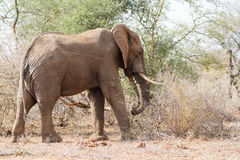 Elephant Standing. A lone elephant in South Africa`s Kruger National Park Stock Photography