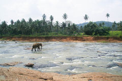 Elephant standing in the middle of the river with stones Royalty Free Stock Images