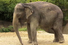 Elephant standing royalty free stock images